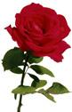 Tak for roserne!